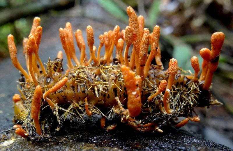 cách bảo quản đông trùng hạ thảo tươi