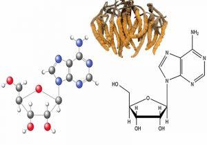 Tác dụng của dược chất Cordycepin trong đông trùng hạ thảo
