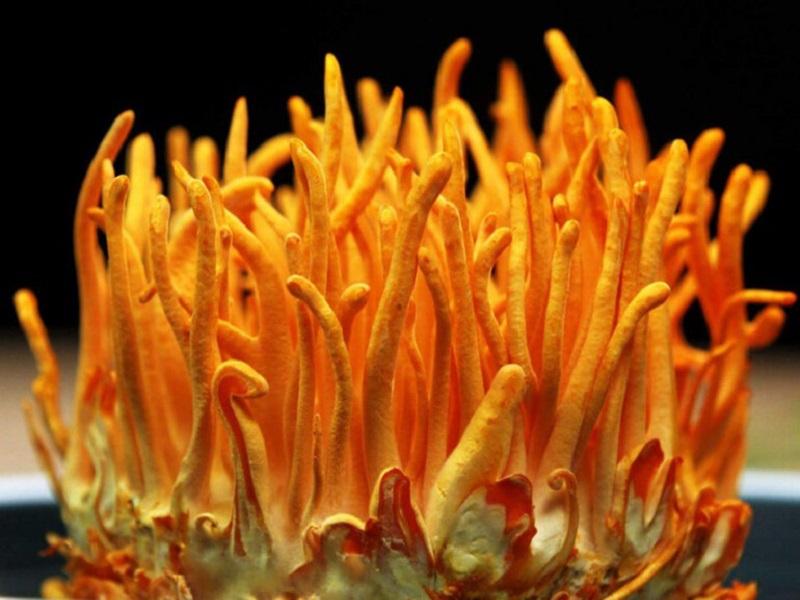 Đông trùng hạ thảo nuôi trồng đảm bảo chất lượng Cordycepin